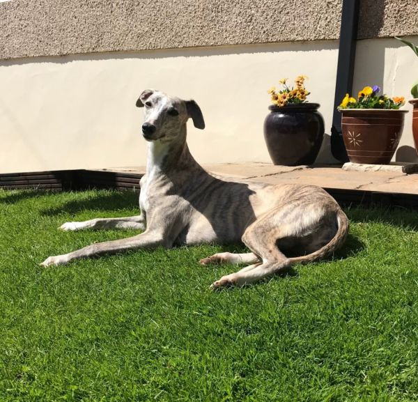 Stella The Whippet